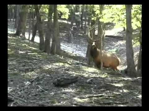Trophy Elk Hunting at High Adventure Ranch
