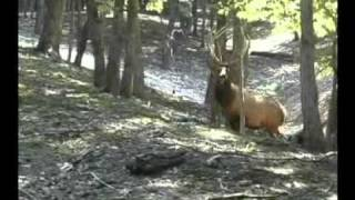 Trophy Elk Hunting at High Adventure Ranch