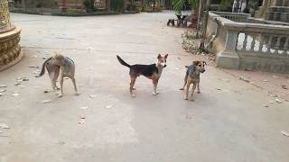 សត្វឆ្កែ - Dogs - Dogs Playing - Dogs Videos - Funny Dogs - Dogs 2020