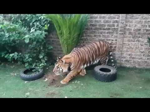 Tigers reaction to new trees !