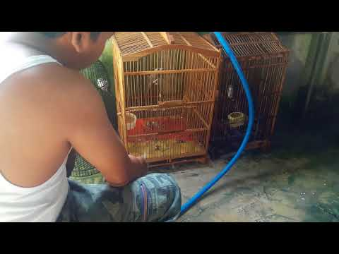 Cara Jinakkan Burung Trucuk