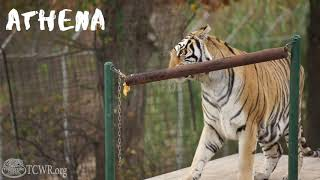 Pipe and Pumpkin Enrichment for Tigers at Turpentine Creek Wildlife Refuge