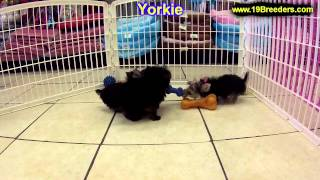 Yorkshire Terrier, Puppies, For, Sale, In, Minneapolis, Minnesota, Mn, Inver Grove Heights, Rosevill