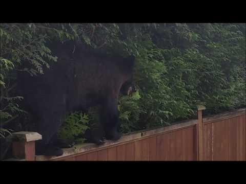Bear in Riverwood, Port Coquitlam