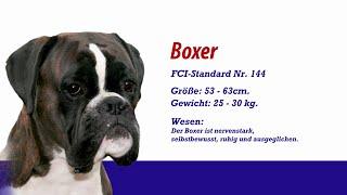 Boxer - Meister Petz Tv Rasseportrait Mpt 113