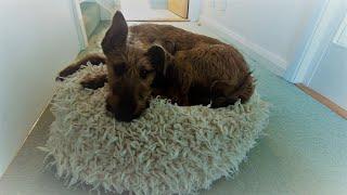 PUPDATE: 17 week old Irish Terrier puppy