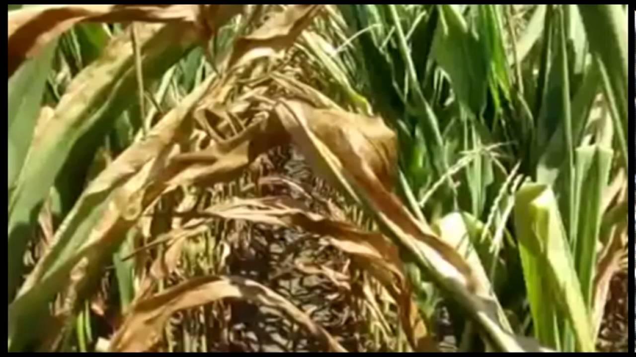 RIMINI: Crolla il prezzo dei cereali, la produzione rischia di ...