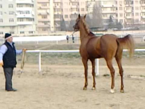 Султан-жеребец карабахской породы Азербайджана.