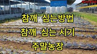 참깨모종 심는방법~주말농장 첫농사 도전하는날