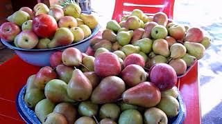Спасаем урожай груш