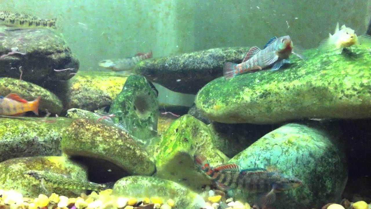 Native Ohio stream tank - feeding time