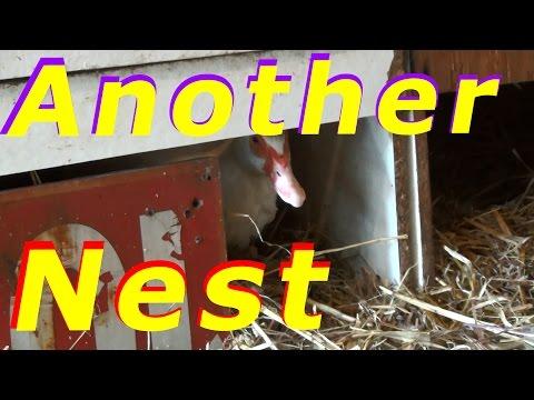 Eddie @ Amazon.ca Saves The Duck Adventure #18 Hatching Duck & Goose Eggs