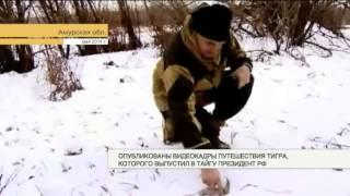 Опубликовано видео путешествие тигра, которого выпустил в тайгу президент РФ(, 2014-12-13T12:03:17.000Z)