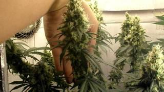 """Growing Weed 7 weeks into Flowering """"Harvest"""" CFL grow"""