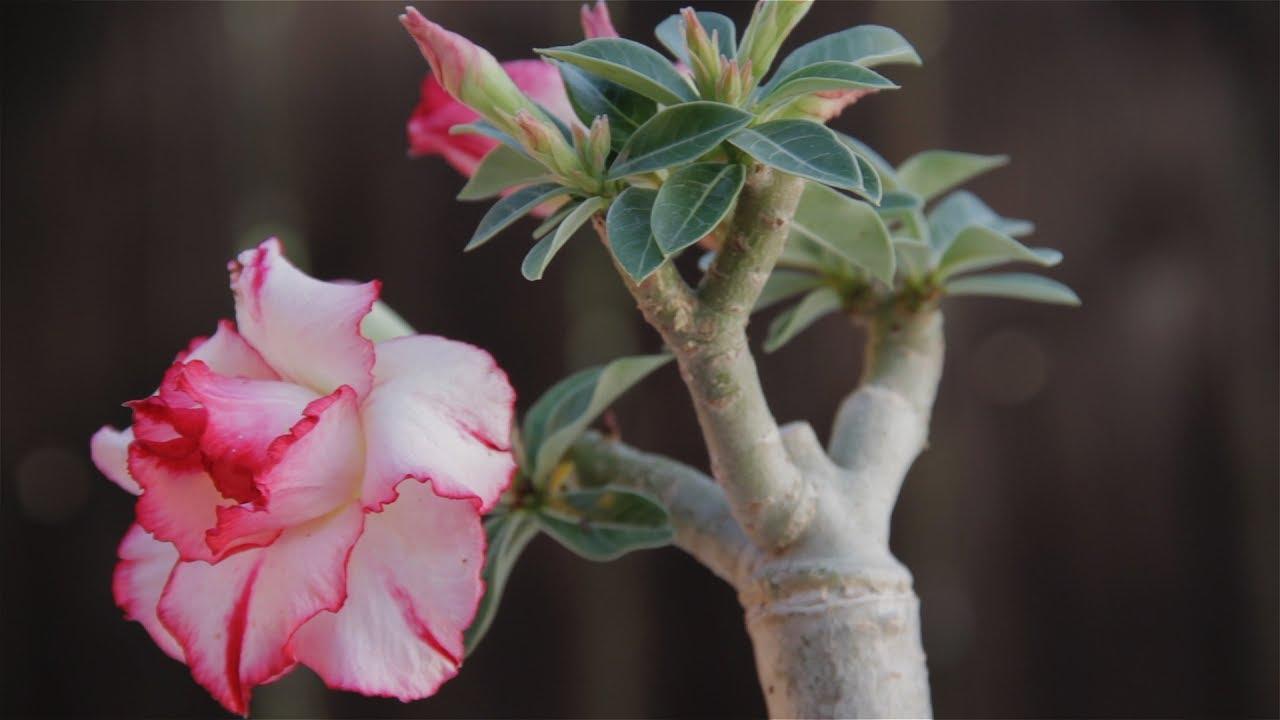 adenium obesum desert rose youtube. Black Bedroom Furniture Sets. Home Design Ideas