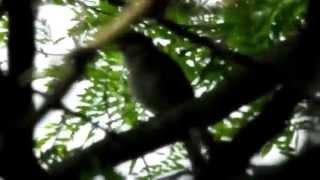 Download Privighetoare cantand, Luscinia luscinia, Thrush Nightingale Song