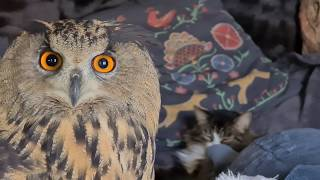 An owl and a cat share a bed. All is well, without clickbait