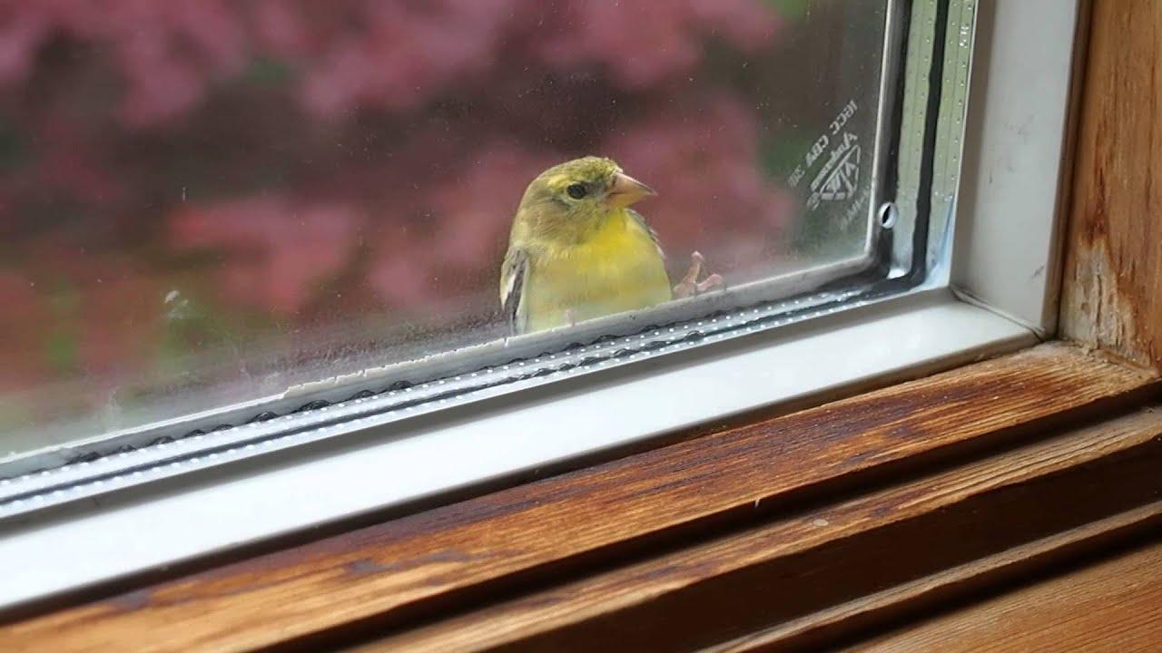 Птичка стучит в окно