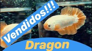 Pez Betta Dragón Hmpk Yellow Dragon Hmpk Full Red Hmpk Full Black Hmpk Koi Hmpk Koi Galaxi Hmpk