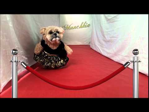 Munchkin the Teddy Bear walks the red carpet
