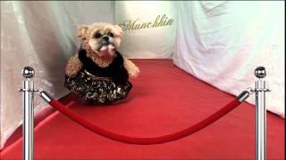 Munchkin the Teddy Bear walks the red carpet