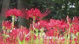 秋の訪れを告げるヒガンバナが、群馬県伊勢崎市境三ツ木の「早川渕彼岸...