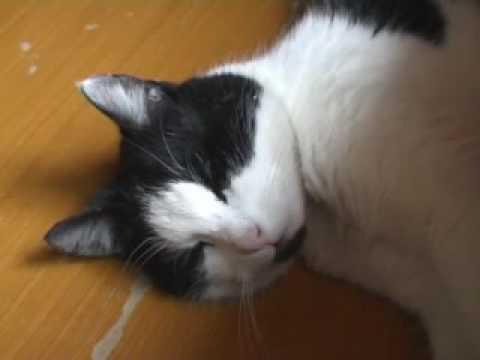 cute swedish cat dreaming hilding dreaming pretty kitten vid