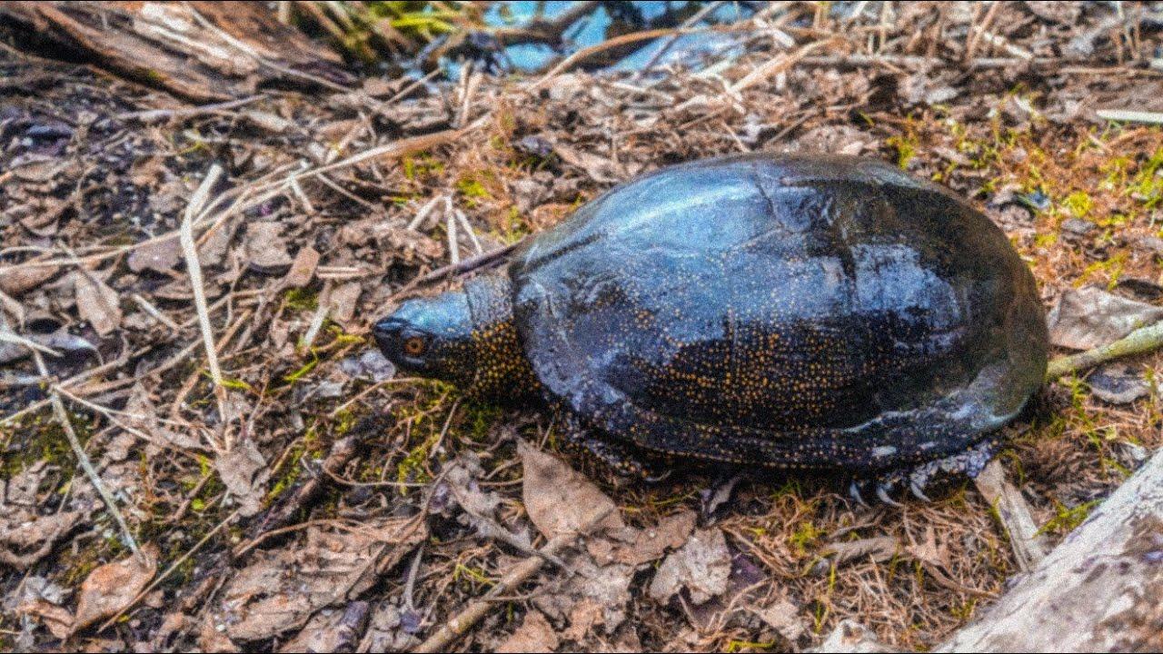 черепахи в подмосковье фото и описание
