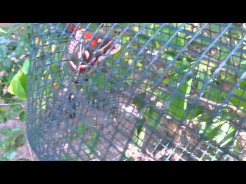 Saturniidae breeding cage