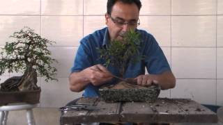 Bonsai para Iniciantes - Evitar a morte do Bonsai