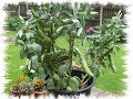 HGV How to grow dwarf or bush beans in pots or buckets, start to finish. Grow Vegetables