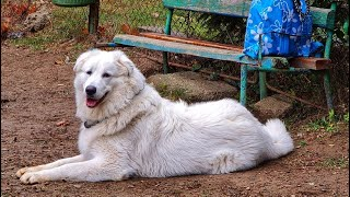 Maremma plays in the park
