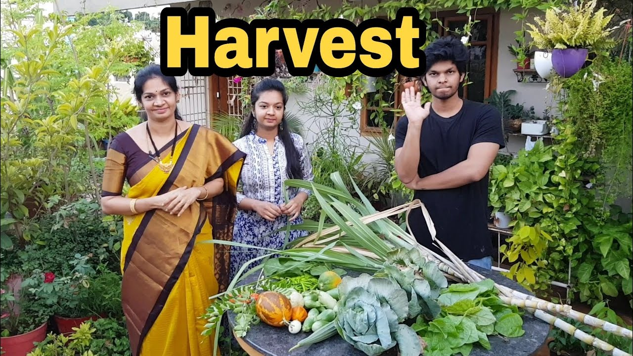 Today's harvest/relaxing video after hectic giveaway/ ఇవాల్టి హార్వెస్ట్ #Terracegarden #madgardener
