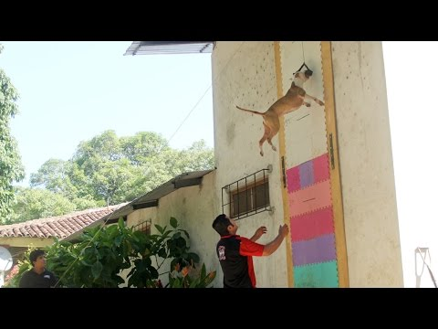 Jumping Dogs:Champion Pit Bull Can Leap Up Four Metre Walls
