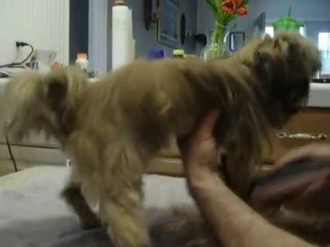 Shorkie Haircut Youtube