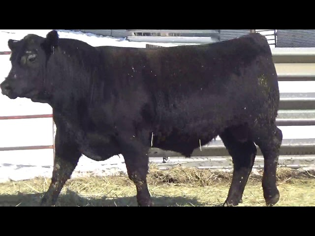 Connealy Angus Lot 444