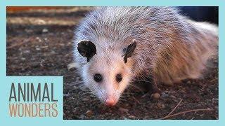 Meet and Greet: Ophelia the Opossum!