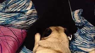 Pug Angry With A Cushion