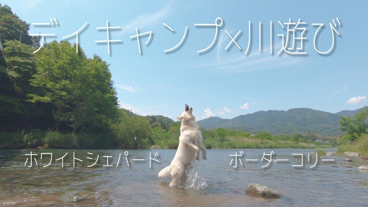 川遊びが好きなホワイトシェパードと生まれて初めて泳いだボーダーコリー
