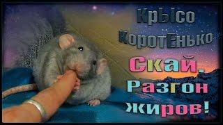 Крыса, Скай. Разгон жиров! (Fancy rats | Декоративные Крысы)