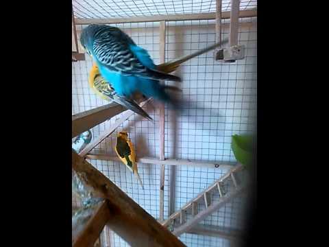 Спаривание попугаев