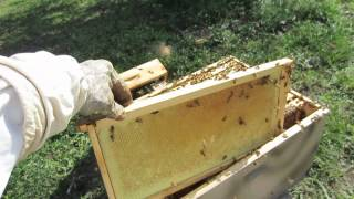 How To Move Wild Bees To A New Langstroth Hive Box
