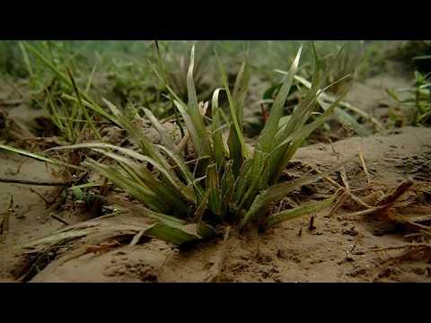 瘤果蔶藻(Blyxa aubertii)