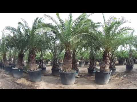 More Phoenix Canariensis from Big Plant Nursery
