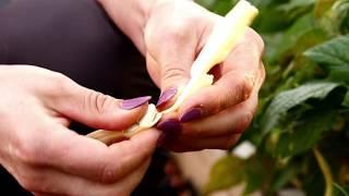 Cultivarea fasolei