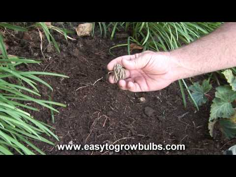 Tecolote Ranunculus Bulbs (Persian Buttercups) - How to Plant Guide