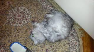 Опасная кошачья змея в доме России  извивается