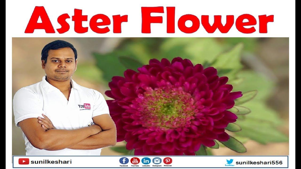 aster flower or genus  aster perennials flower, Natural flower