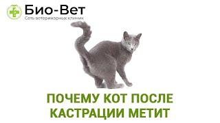 Почему кот после кастрации метит. Ветеринарная клиника Био-Вет.