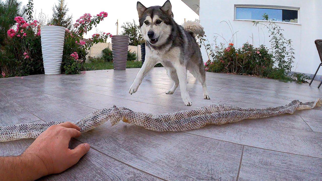 ЖЕСТЬ! Истерика у Собаки из-за кожи ПИТОНА / реакция щенка на большую змею